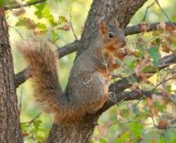 łasowania dokrętki wiewiórka Obraz Royalty Free