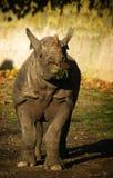 łasowania grasss nosorożec Fotografia Royalty Free