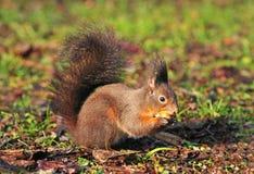 łasowania hazelnut wiewiórka Fotografia Royalty Free