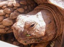 Łasowanie żółw Obrazy Royalty Free