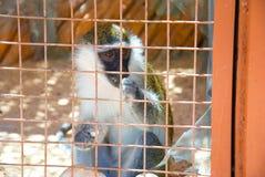 Łasowanie afrykanina Vervet małpa grivet Chlorocebus aethiops, także znać jako Afrykańska zielona małpa i sa - Chlorocebus aethio Obraz Royalty Free