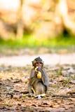łasowanie bananowa małpa Obrazy Stock
