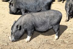łasowanie czarny gliniana podłoga mały świniowaty Vietnam Obrazy Royalty Free