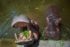 Łasowanie hipopotamy w wodzie z otwartymi szczękami, w które spada trawa słoneczny dzień Horyzontalna rama obraz stock