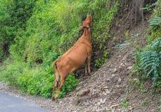 Łasowanie Indiańska święta krowa w Rishikesh Obraz Royalty Free