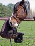 Łasowanie koń fotografia stock