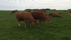 Łasowanie krowy w Francja zdjęcie wideo