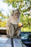 łasowanie kukurydzana małpa Obrazy Royalty Free