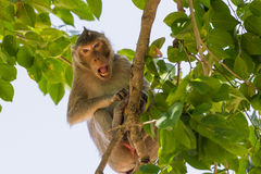 Łasowanie małpa Zdjęcia Royalty Free