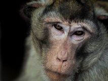 Łasowanie makak gapi się przy ja Fotografia Stock