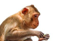 Łasowanie makak odizolowywający obraz stock