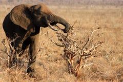łasowanie słoń Zdjęcie Royalty Free