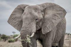 Łasowanie słoń Zdjęcia Stock