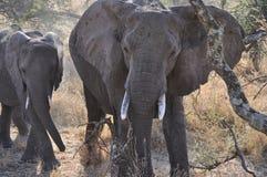 Łasowanie słonie Zdjęcie Stock