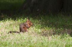 łasowanie wiewiórka lasowa mała Obrazy Royalty Free