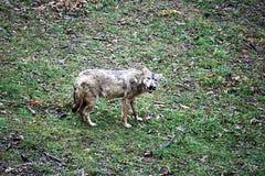Łasowanie wilk obraz royalty free