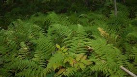 Łata zielone wibrujące paprocie w lesie - handheld wersja zbiory wideo