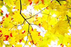 Łatwego obrazka jesieni krajobrazu piękny klonowy tło Obrazy Royalty Free