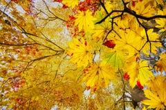 Łatwego obrazka jesieni krajobrazu piękny klonowy tło Obraz Stock