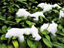 Łaty śnieg na krzaku z zielonymi liśćmi obrazy stock