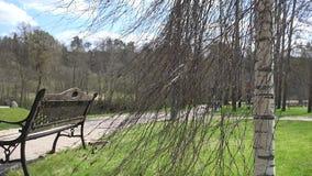 Ławka, brzozy drzewo i lightings pobliska parkowa ścieżka w wiośnie, 4K zdjęcie wideo