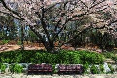 Ławki i Czereśniowego okwitnięcia drzewo Obrazy Royalty Free
