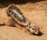Łgarscy południe Xerus inauris - afrykanin zmielona wiewiórka - Fotografia Stock