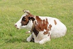 łgarska krowy łąka Obrazy Royalty Free