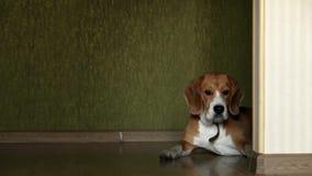 Łgarski beagle pies na domu laminata podłoga zbiory