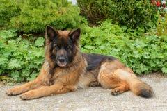 Łgarski czujny pasterski pies - portret obrazy stock