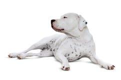 Łgarski dorosły Dogo Argentino Zdjęcie Royalty Free
