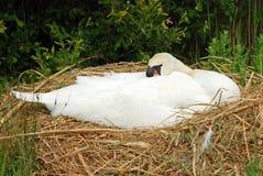 łgarski gniazdowy łabędzi biel Zdjęcie Royalty Free