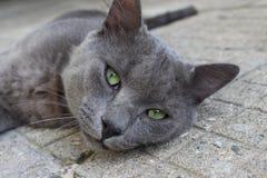 Łgarski szary kot gapi się w obiektywie wiruje w Petrich na ogródzie relaksuje zwierzęcia Zdjęcia Stock