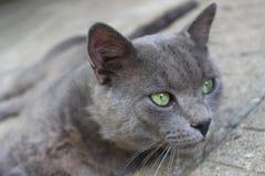 Łgarski szary kot gapi się w wsi w Petrich przy ogródem relaksuje zwierzęcia Zdjęcie Royalty Free
