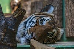 Łgarski tygrys w Praga zoo zdjęcie stock