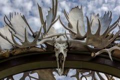 Łoś amerykański czaszka Zdjęcie Stock