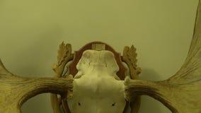 Łoś amerykański czaszka na ścianie z liczbą dziewięć zbiory