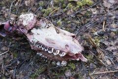 Łoś amerykański czaszka strucked wilkiem Zdjęcia Royalty Free