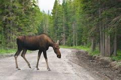 łoś amerykański dziki Zdjęcie Stock