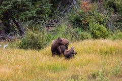 Łoś amerykański i łydka w łące sucha trawa i drzewa Lato w Wyoming Zdjęcia Royalty Free