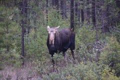 Łoś amerykański krowa Zdjęcia Stock