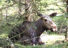 Łoś amerykański krowa kłaść w lasowym łóżku Zdjęcia Stock