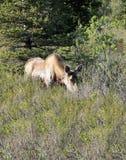 Łoś amerykański przy Denali parkiem narodowym zdjęcie royalty free