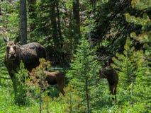 Łoś amerykański w dzikim z dziećmi zdjęcia royalty free