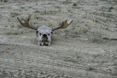 Łoś czaszka zdjęcie royalty free