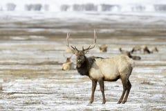 Łoś lub Wapiti w śniegu przy łosia schronieniem Obraz Royalty Free