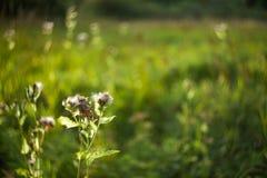 Łopian kwitnie na zamazanym tle halizna zaświecająca zdjęcie stock