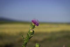 Łopianowy kwiat w dzikim, letni dzień, rozmyty tło, niebieskie niebo, żółci elysees Fotografia Stock