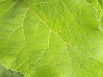 Łopianowy liścia zakończenie, naturalny tło Obrazy Stock