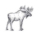 Łosiów amerykańskich lasowi zwierzęta ilustracyjni ilustracja wektor